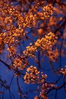 Evening Blossoms 676