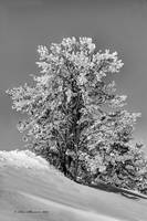Winter in Black and White single tree