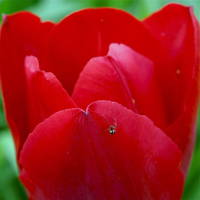Red Tulip and Guest