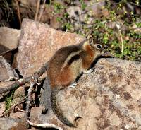 Fat Little Ground Squirrel