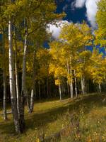 Bright Aspens in a Dark Forest