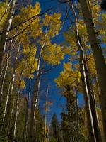 Tall Aspens in Autumn