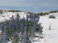 Blue Lupine in South Walton