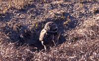 Burrowing Owl4