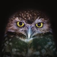 Portrait of an Owl Art Prints & Posters by Victor Howe