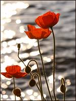Poppies in the Sunset on Lake Geneva