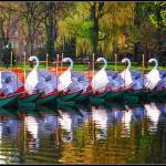 The Swan Boats Prints & Posters