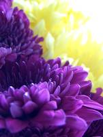 Purple & Yellow Dahlias