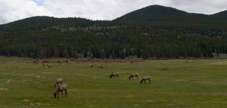 Elk Grazing in Spring