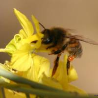 Honey Bee Art Prints & Posters by Robert Orr