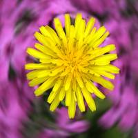 Dandelion Art Prints & Posters by Mark Brunt