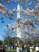 Cherry Blossoms in Washington D.C