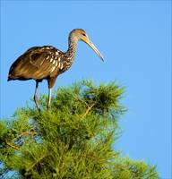 The Limpkin