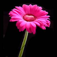 Happy Valentines Day - pink gerbera with a heart o
