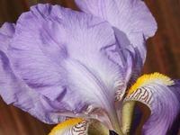 Iris Leaves by Carol Groenen