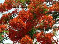 The Tabachin or Flamboyant Tree