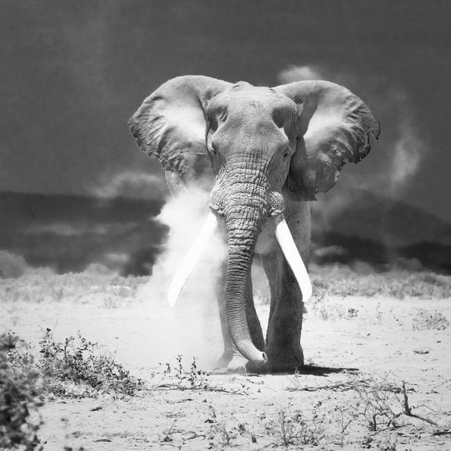 Old elephant amboseli national park kenya by konstantin kalishko