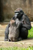 Mom and Baby Gorrilla
