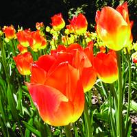 Luminous Tulips II (Square)