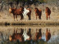 the 4 ponies of assateague