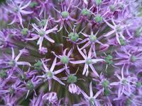 Allium Close-Up by Carol Groenen