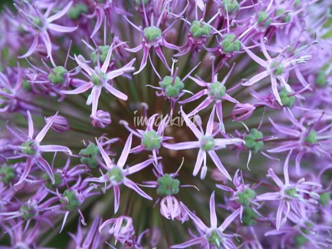 Allium Close-Up