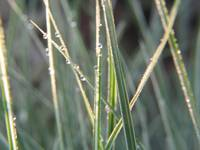 Switchgrass with Dew