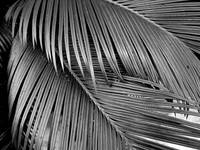 Intertwining Palm Fronds