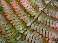 Red-leaved Fern