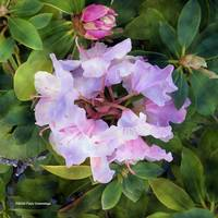 Rhodies Flower