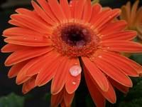 Dew Drop Daisy