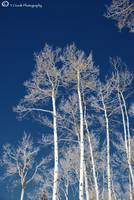 Aspen Trees- Avon, CO 1 of 1 (1)