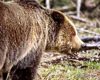 Portrait of a Grizzly