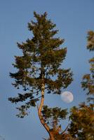 Moon and Fir Tree
