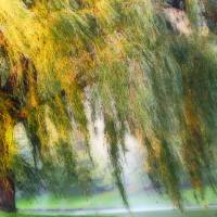 """""""Misty Weeping Willow Tree"""" by PhotographsByCarolFAustin"""