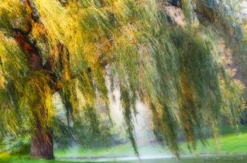 Misty Weeping Willow Tree Wall Art By Carol F Austin