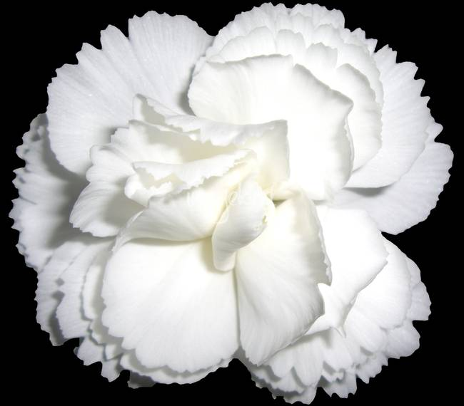 White Carnation on black background by Mikhail Onanov