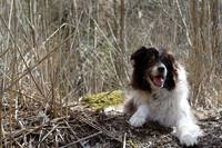 Border Collie in the Reeds