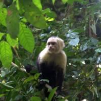 Wild Capuchin Monkey by Eileen Ringwald