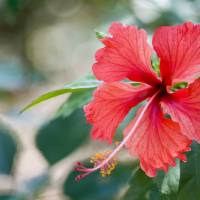 Red Hibiscus by Eileen Ringwald