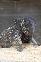 Baby Elephant Beco rises from the sawdust