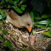 Female Cardinal Feeding Babies Art Prints & Posters by Tex Smock