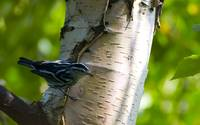 Black and White Warbler on Birch