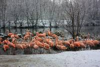Snowtime-Flamingos Gathering 1