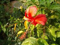 RED Hibiscus in Goa
