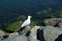 Bird 6-Sea Gull-Dublin Ireland