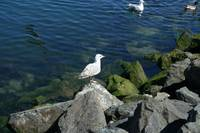 Bird 12-Sea Gull-Dublin Ireland