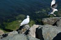 Bird 10-Sea Gull-Dublin Ireland