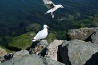 Bird 9-Sea Gull-Dublin Ireland
