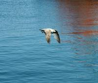 Bird 4-Sea Gull-Dublin Ireland